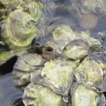 Olympia Oyster Restoration